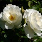 Rose GIardino Orserose
